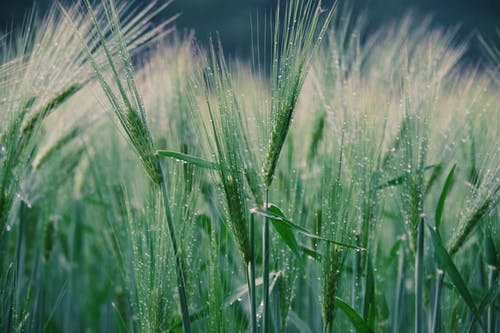 Green Wheat Field during Night Time