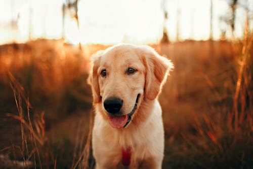 Charming purebred dog with tongue out looking away on grass meadow under shiny sky at sunset in back lit