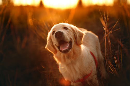 Golden Retriever in countryside field at sundown
