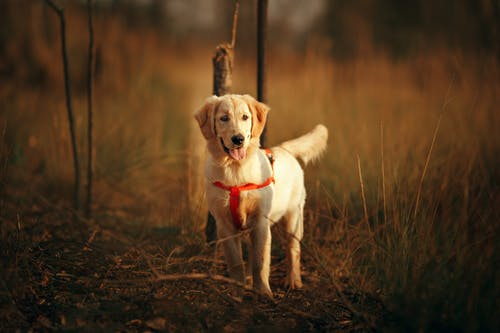 Cute Golden Retriever on meadow in countryside in evening