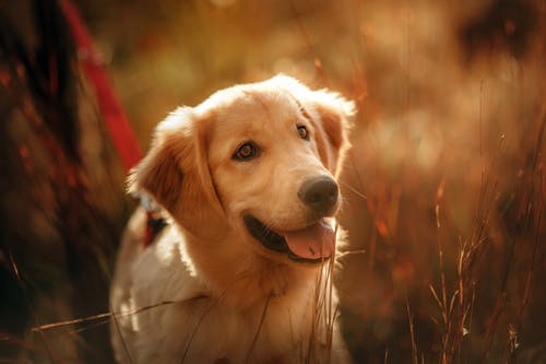 Cheerful Golden Retriever standing on nature