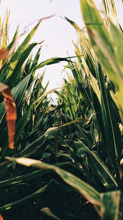 Free stock photo of corn, corn field, field