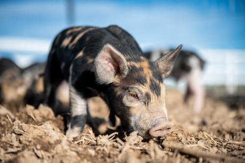 Mini pig sniffing ground in countryside