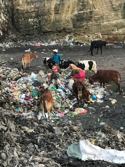Cows Scattered on Dumpsite