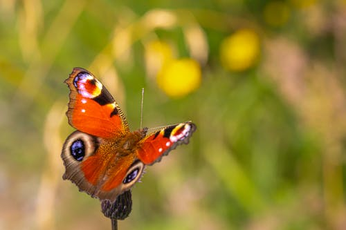 Peacock Butterfly Perched on Yellow Flower in Close Up Photography