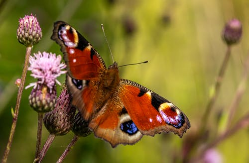 Peacock Butterfly Perched on Purple Flower in Close Up Photography