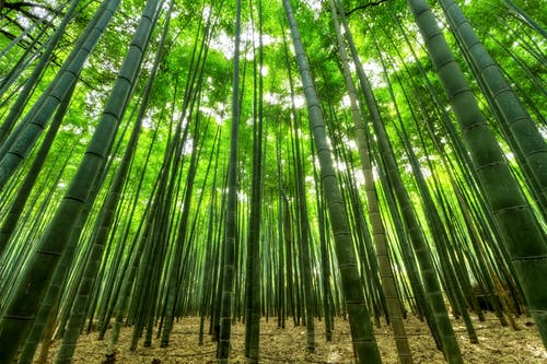 Bamboo Tree Forest on a Sunny Day