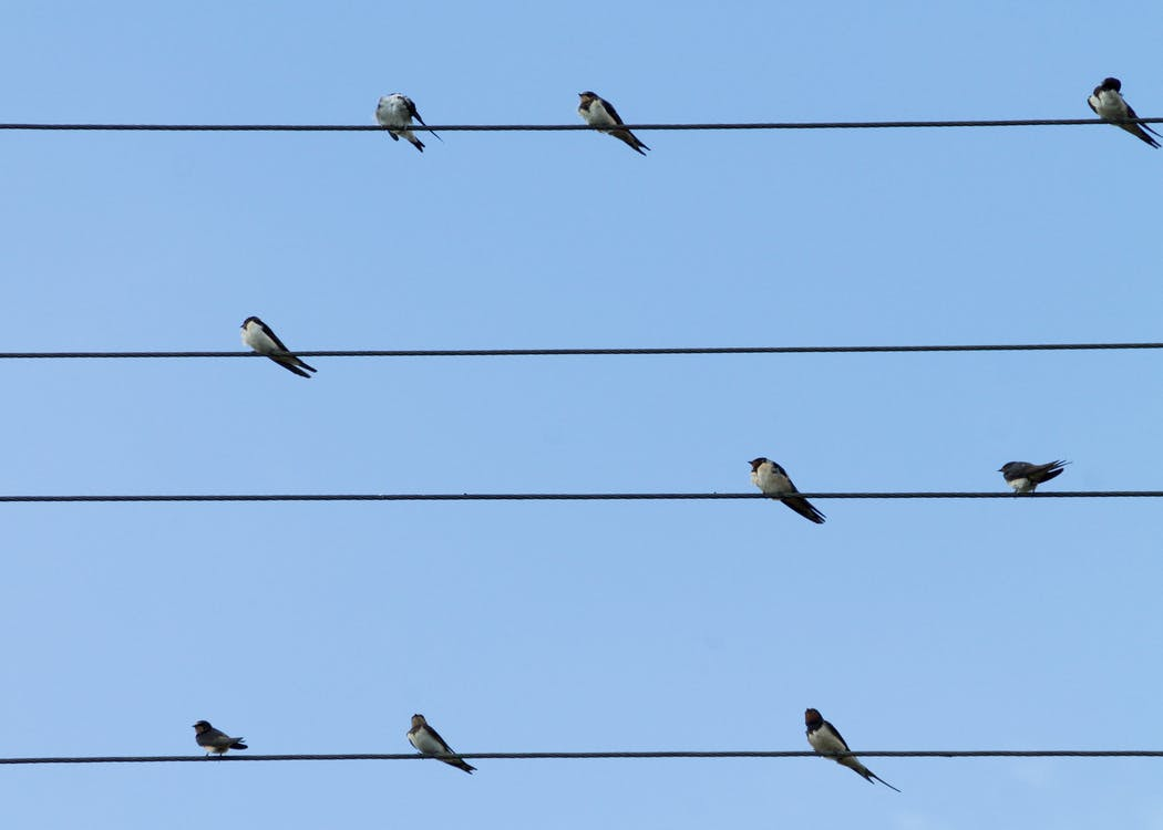 9 Birds Perched on 4 Electric Lanes