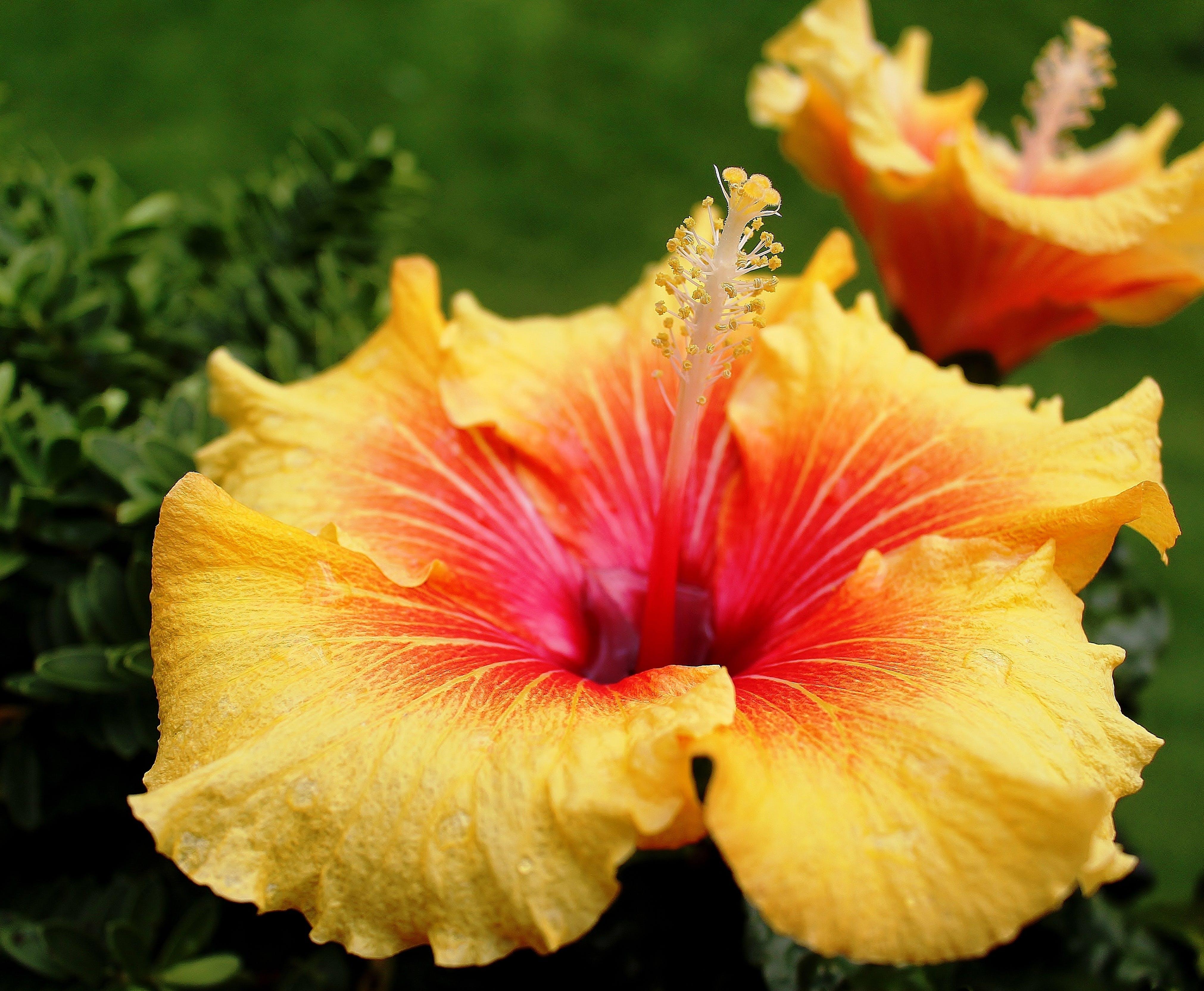 คลังภาพถ่ายฟรี ของ ชบา, ดอกไม้, ต้นแมลโล, น้ำค้าง