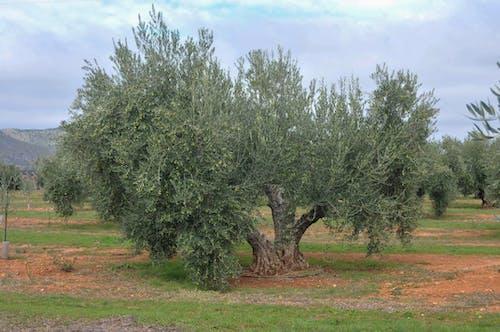Immagine gratuita di olivas