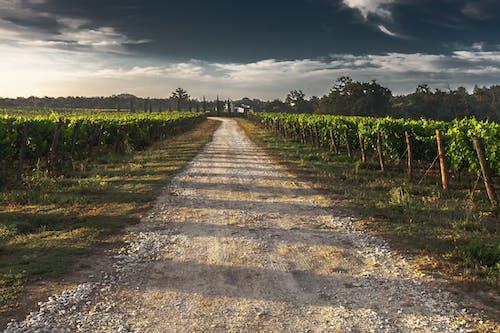 天空, 泥路, 田, 葡萄園 的 免费素材照片