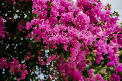 Flores De Color Rosa Brillante De Bush Buganvillas Menores Que Crecen En El Parque