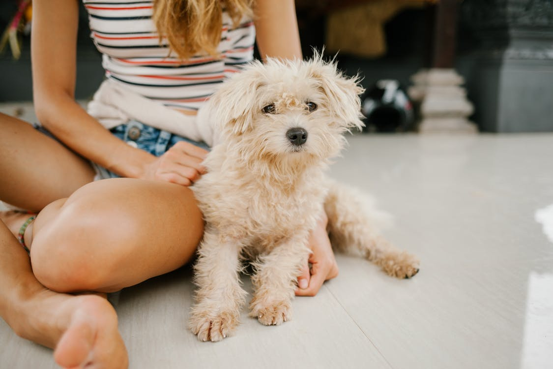 Crop female owner with puppy Toy Poodle with fluffy fur sitting together on floor