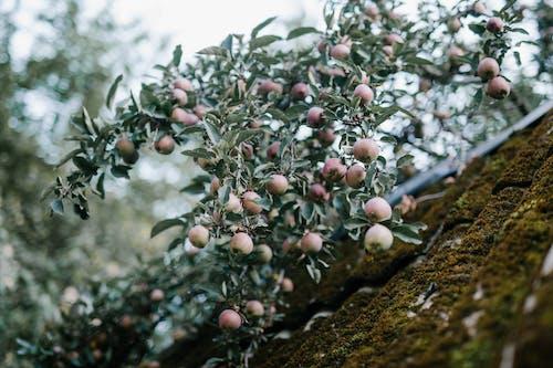 Δωρεάν στοκ φωτογραφιών με apple, αγρόκτημα, αγρονομία, αγροτικός