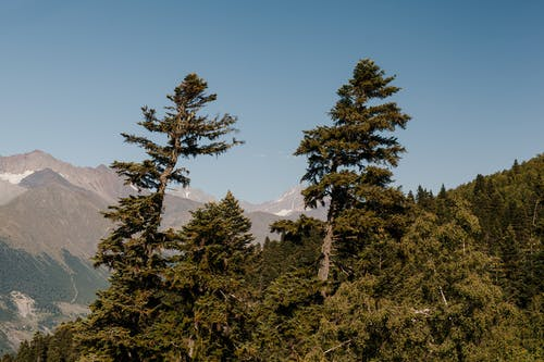 Green coniferous forest growing on slope of mountain against rocky peaks under blue cloudless sky