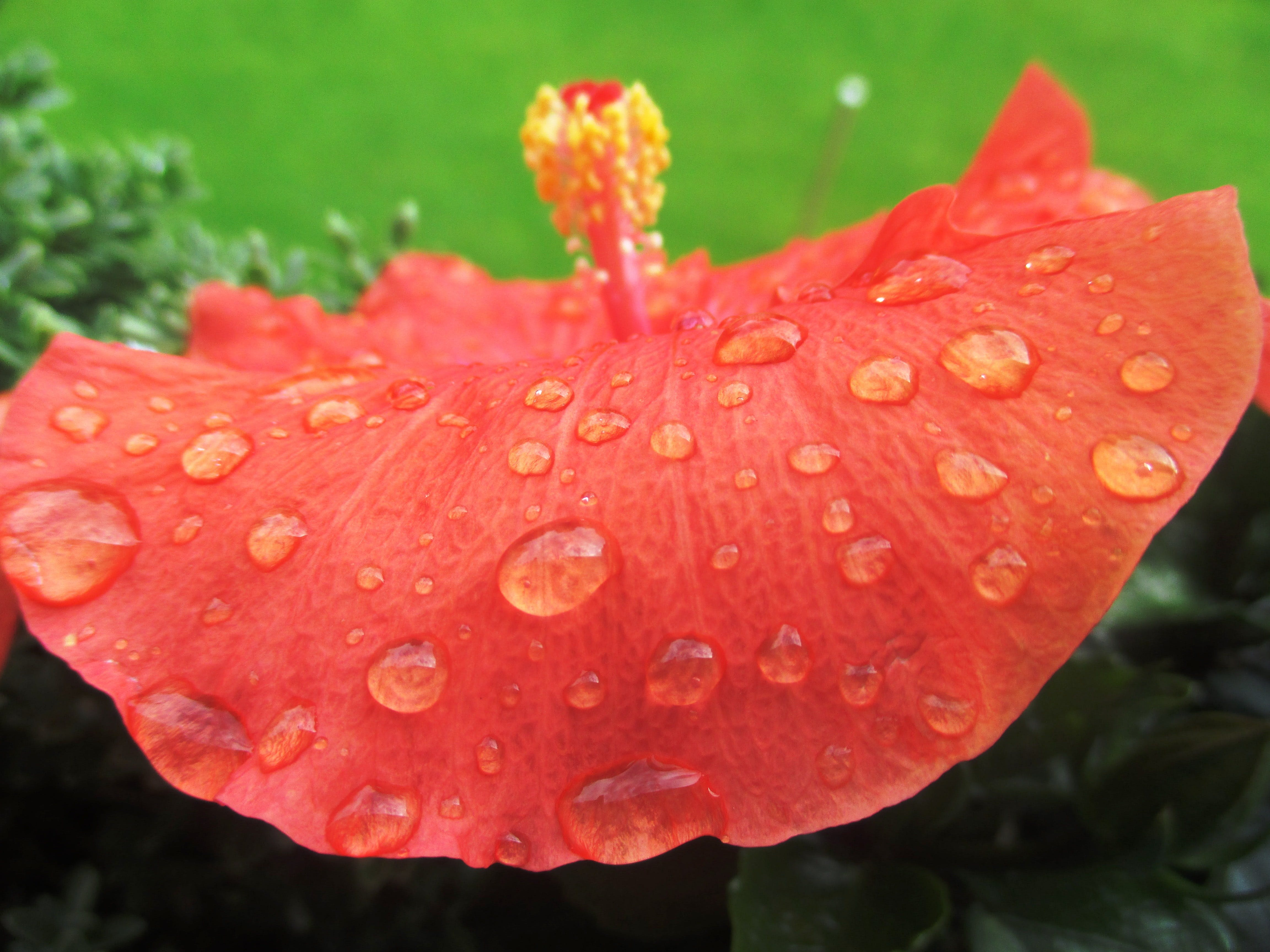 Red Hibiscus Flower With Water Drops
