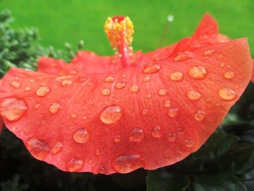 Fotobanka sbezplatnými fotkami na tému detailný záber, flóra, ibištek, kvapka dažďa