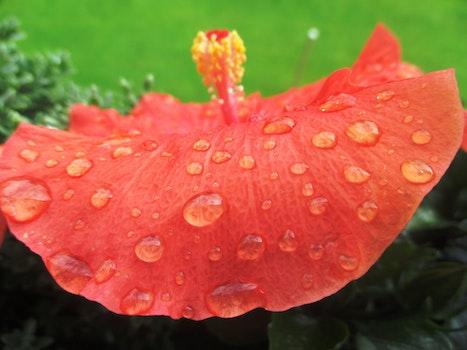Free stock photo of dew, flower, raindrop, bloom