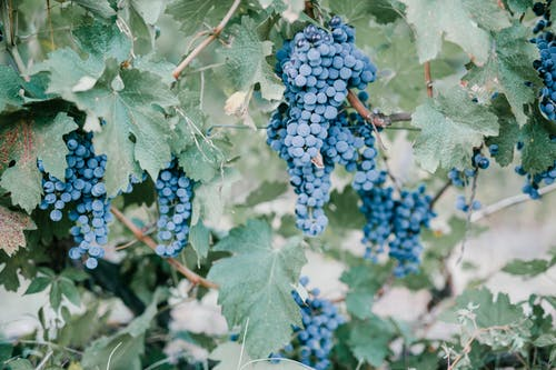Blue grape berries in vineyard in countryside