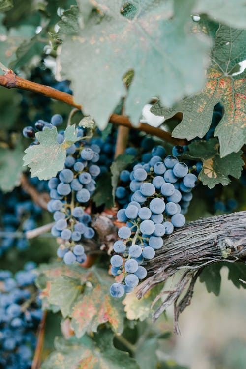 Ripe blue grapes bunches hanging on tree with lush green foliage in vineyard for winemaking