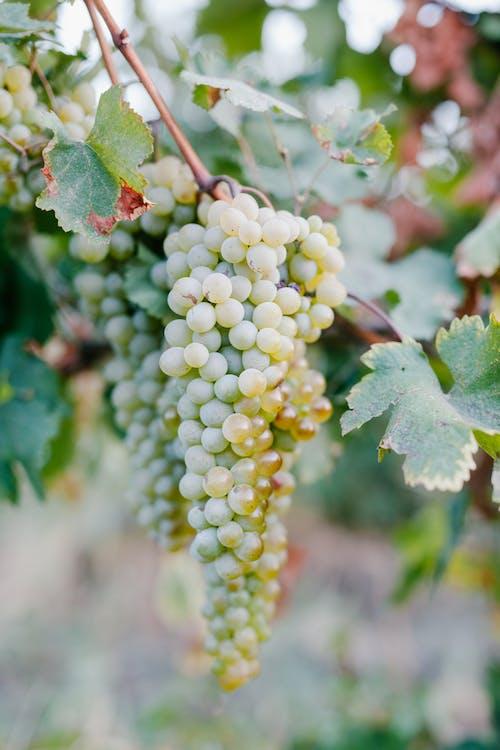 Świeża Winorośl Na Gałęzi W Winnicy