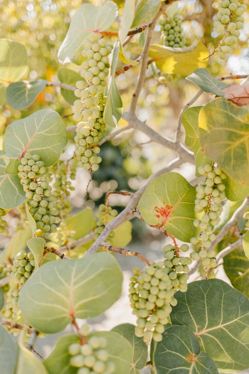 Bunches of fresh ripe grapes growing on tree with green leaves in sunny orchard
