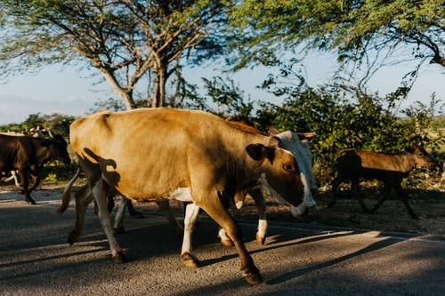 Herd of cows walking to pasture in countryside