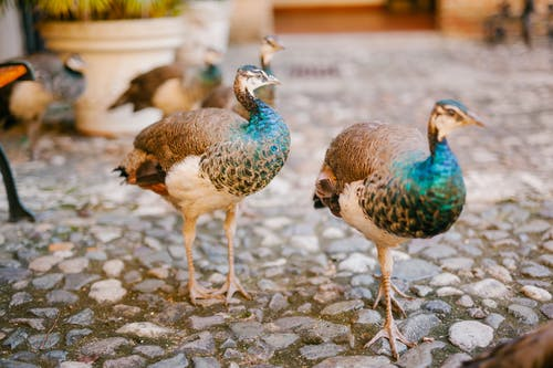 Peafowls with bright ornamental plumage and pointed beaks strolling on rough pathway in summer
