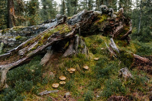 Damaged old tree covered with moss near green herb and mushrooms in forest in summer