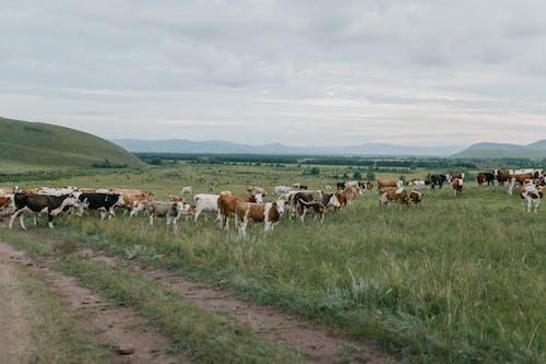 Rebaño De Vacas Pastando Entre Hierba Verde Fresca