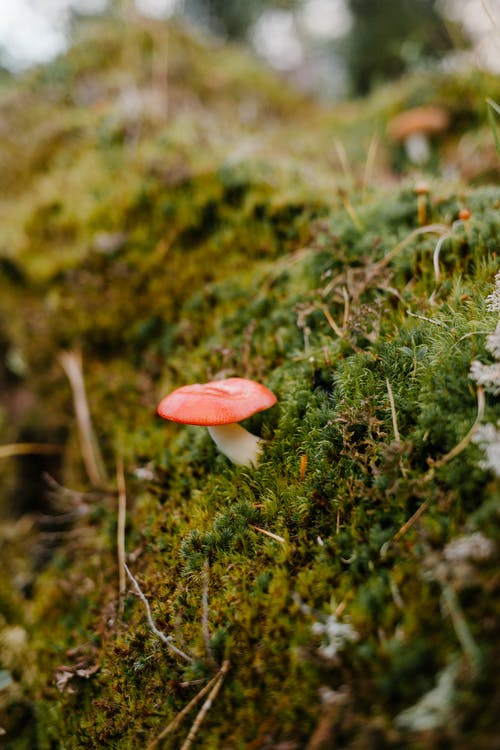 Small fresh mushroom growing on verdant soft moss in wood on autumn day