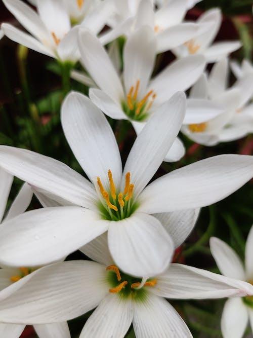 Immagine gratuita di bianco, botanico, colore