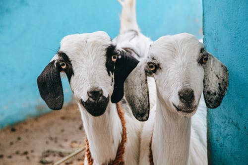 Close-Up Photo of Two Cute Goats