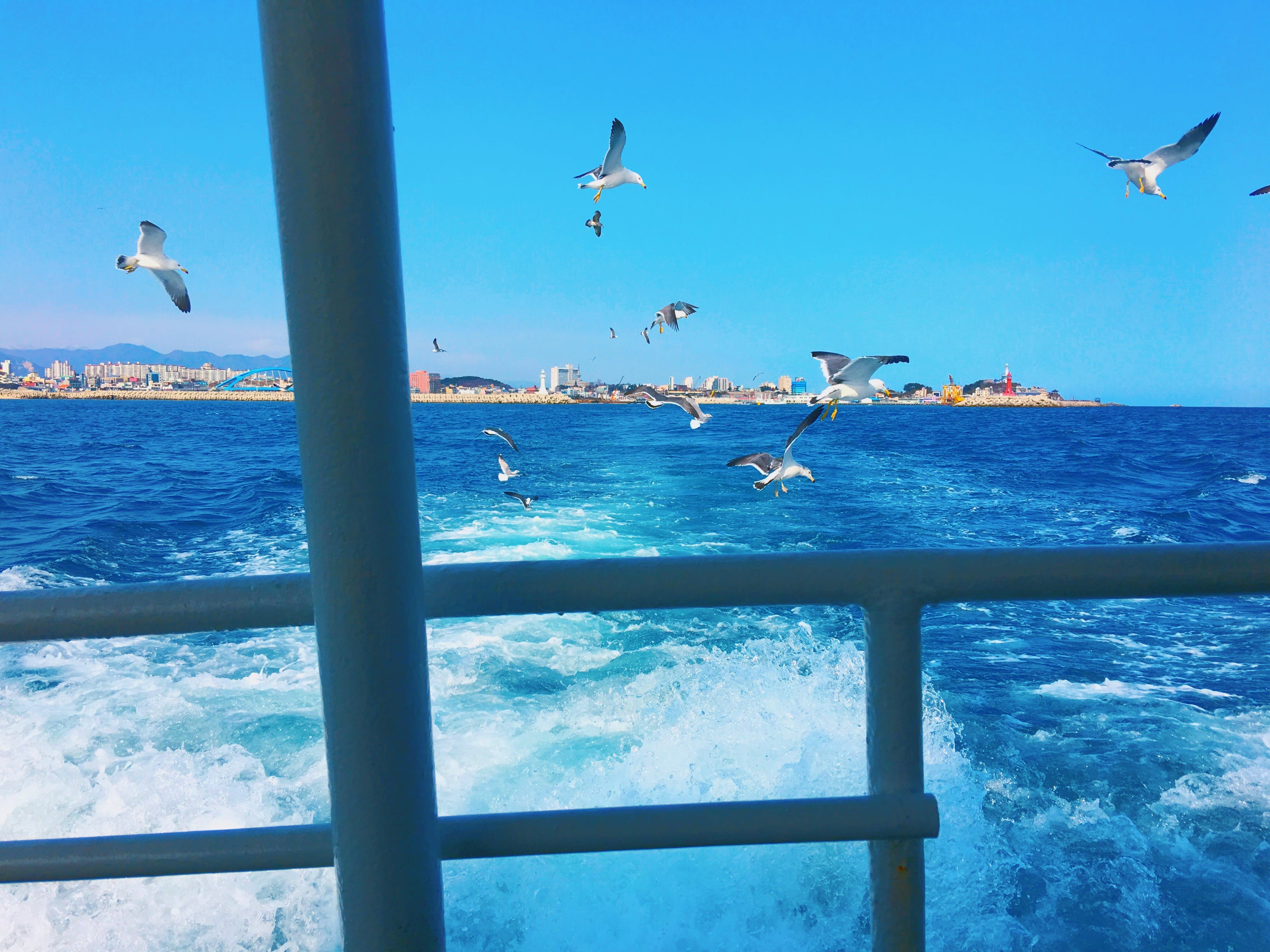Free stock photo of gull, korea, sea, seagulls