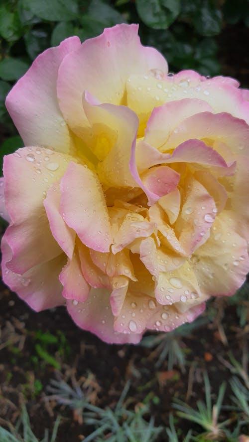 玫瑰, 雨 的 免費圖庫相片