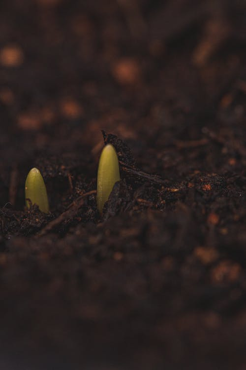 Green sprouts growing from soil surface