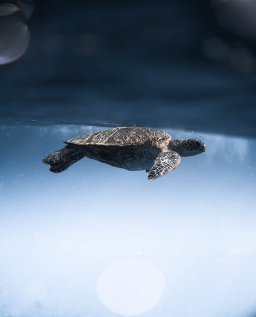 Side view of cute Lepidochelys olivacea turtle swimming underwater of blue sea on sunny day
