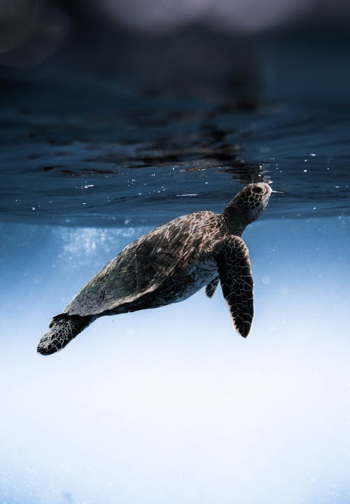Turtle floating under blue sea water