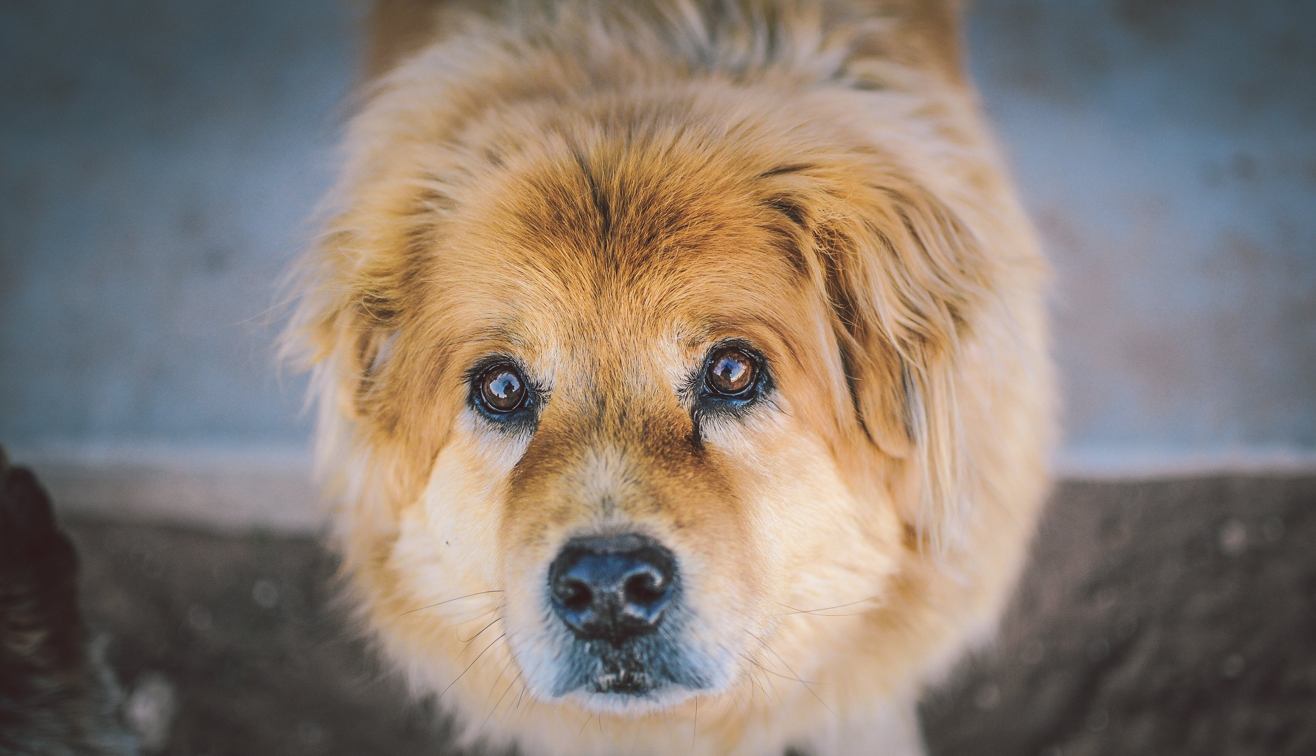 Adult Golden Retriever Close-up Photography