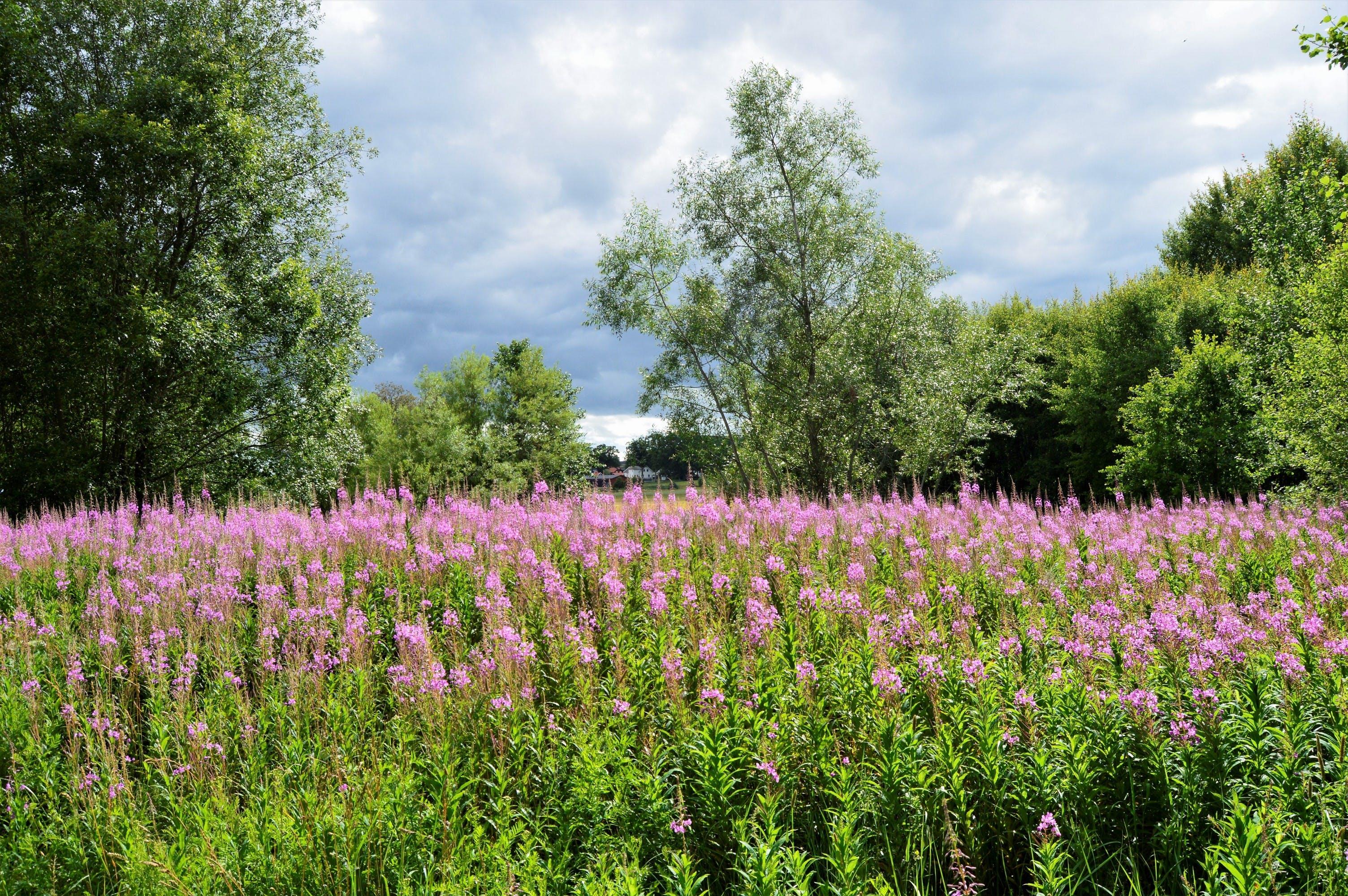スウェーデン, フィールド, フラワーズ, 夏の無料の写真素材