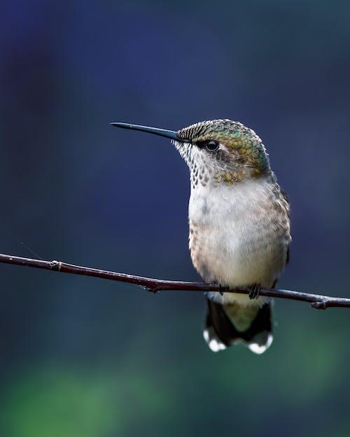 Hummingbird sitting on thin twig