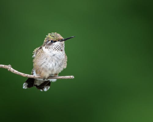 Little fluffy Hummingbird sitting on thin twig of tree against blurred green background in daytime