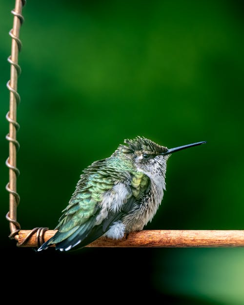 Tiny fluffy hummingbird with colorful plumage and long beak sitting on wooden twig against blurred green background