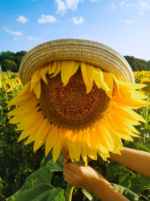 A Hat on a Giant Sunflower