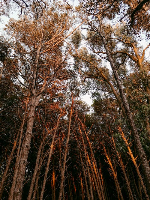 Picturesque View of Tall Trees in the Forest