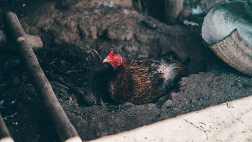 A Chicken Resting in a Burrowed Ground