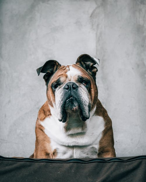 Yumuşak Kanepede Oturan Ciddi Bulldog