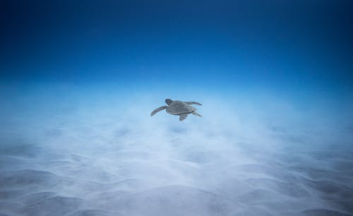 Sea turtle swimming under blue clear water