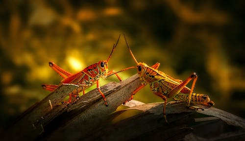 Grasshoppers on Brown Wooden Surface