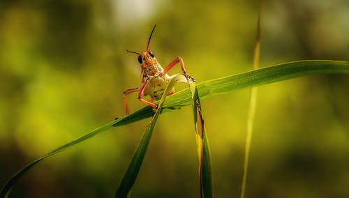 Grasshopper Perched on Green Leaf in Close Up Photography